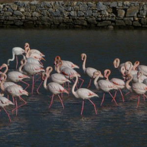 Pretty Flamingoes - 61